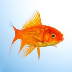 Goldfish in a aquarium- Stock Photo or Stock Video of rcfotostock | RC-Photo-Stock