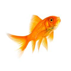 Goldfish in a aquarium : Stock Photo or Stock Video Download rcfotostock photos, images and assets rcfotostock | RC-Photo-Stock.: