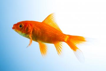 Goldfish in a fish tank : Stock Photo or Stock Video Download rcfotostock photos, images and assets rcfotostock | RC-Photo-Stock.: