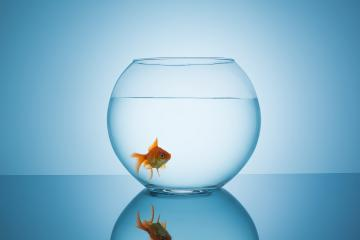 goldfish in a fishbowl- Stock Photo or Stock Video of rcfotostock | RC-Photo-Stock