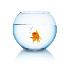 goldfish in a fishbowl on white- Stock Photo or Stock Video of rcfotostock | RC-Photo-Stock