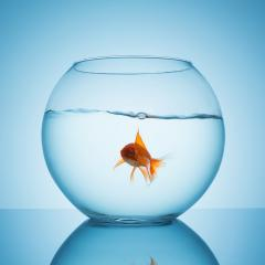 goldfish in a fishbowl with water : Stock Photo or Stock Video Download rcfotostock photos, images and assets rcfotostock | RC-Photo-Stock.:
