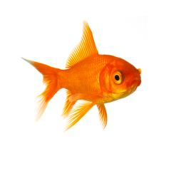 Goldfish in front of a white background- Stock Photo or Stock Video of rcfotostock | RC-Photo-Stock