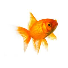 Goldfish in front of white : Stock Photo or Stock Video Download rcfotostock photos, images and assets rcfotostock | RC-Photo-Stock.: