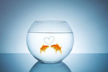 Goldfish in love : Stock Photo or Stock Video Download rcfotostock photos, images and assets rcfotostock | RC-Photo-Stock.:
