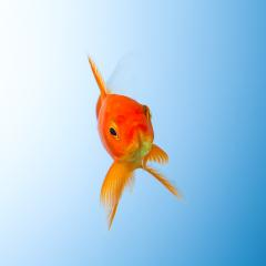 Goldfish in water : Stock Photo or Stock Video Download rcfotostock photos, images and assets rcfotostock | RC-Photo-Stock.: