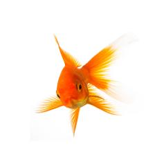 Goldfish is angry- Stock Photo or Stock Video of rcfotostock | RC-Photo-Stock