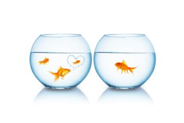 Goldfish is in love with another- Stock Photo or Stock Video of rcfotostock | RC-Photo-Stock