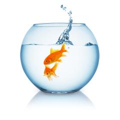 Goldfish is shocked from a jumping fish in a fishbowl : Stock Photo or Stock Video Download rcfotostock photos, images and assets rcfotostock | RC-Photo-Stock.: