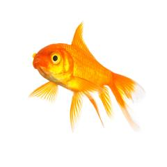 goldfish isolated : Stock Photo or Stock Video Download rcfotostock photos, images and assets rcfotostock | RC-Photo-Stock.: