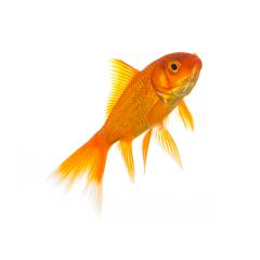 goldfish isolated on white- Stock Photo or Stock Video of rcfotostock | RC-Photo-Stock