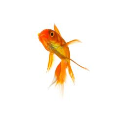 Goldfish isolated on white : Stock Photo or Stock Video Download rcfotostock photos, images and assets rcfotostock | RC-Photo-Stock.: