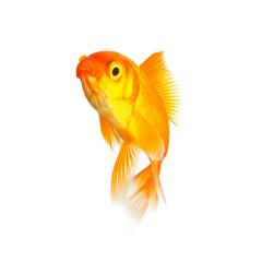 Goldfish isolated on white background- Stock Photo or Stock Video of rcfotostock | RC-Photo-Stock