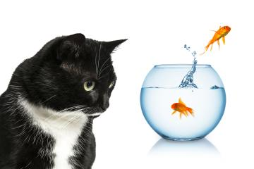 goldfish jumping away in front of a cat : Stock Photo or Stock Video Download rcfotostock photos, images and assets rcfotostock | RC-Photo-Stock.: