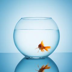 Goldfish looks amazed in a fishbowl : Stock Photo or Stock Video Download rcfotostock photos, images and assets rcfotostock | RC-Photo-Stock.: