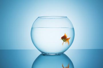 goldfish looks curious in a fishbowl : Stock Photo or Stock Video Download rcfotostock photos, images and assets rcfotostock | RC-Photo-Stock.: