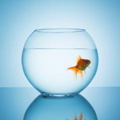 goldfish looks interested in a fishbowl : Stock Photo or Stock Video Download rcfotostock photos, images and assets rcfotostock | RC-Photo-Stock.: