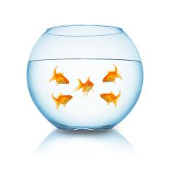 goldfish mobbing in a fishbowl : Stock Photo or Stock Video Download rcfotostock photos, images and assets rcfotostock | RC-Photo-Stock.: