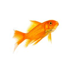 Goldfish of a white background : Stock Photo or Stock Video Download rcfotostock photos, images and assets rcfotostock | RC-Photo-Stock.: