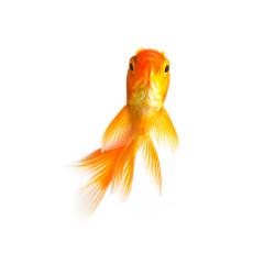 Goldfish on white : Stock Photo or Stock Video Download rcfotostock photos, images and assets rcfotostock | RC-Photo-Stock.: