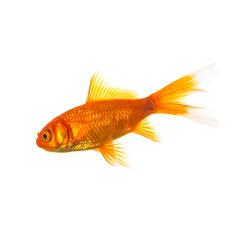 Goldfish on white background- Stock Photo or Stock Video of rcfotostock | RC-Photo-Stock
