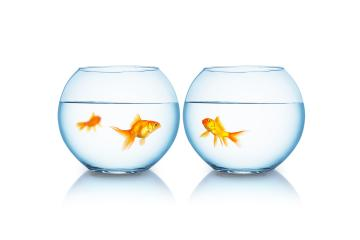 Goldfish reunification : Stock Photo or Stock Video Download rcfotostock photos, images and assets rcfotostock | RC-Photo-Stock.: