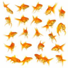 goldfish set collage isolated on white : Stock Photo or Stock Video Download rcfotostock photos, images and assets rcfotostock | RC-Photo-Stock.: