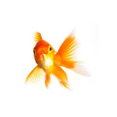 Goldfish swims : Stock Photo or Stock Video Download rcfotostock photos, images and assets rcfotostock | RC-Photo-Stock.: