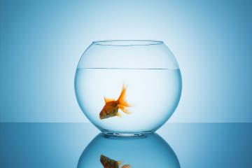 goldfish swims alone in a fishbowl : Stock Photo or Stock Video Download rcfotostock photos, images and assets rcfotostock | RC-Photo-Stock.: