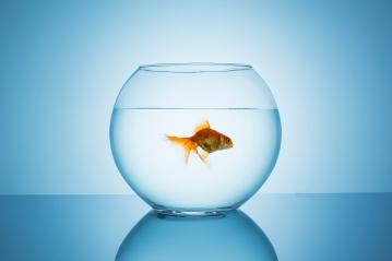 goldfish swims away in a fishbowl : Stock Photo or Stock Video Download rcfotostock photos, images and assets rcfotostock | RC-Photo-Stock.: