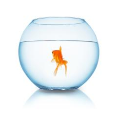 goldfish swims in a fishbowl- Stock Photo or Stock Video of rcfotostock | RC-Photo-Stock