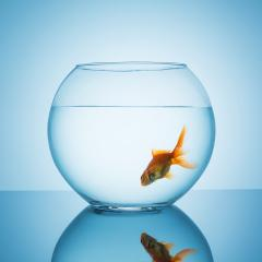 goldfish swims in a fishbowl glass : Stock Photo or Stock Video Download rcfotostock photos, images and assets rcfotostock | RC-Photo-Stock.: