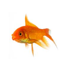 Goldfish swims in water- Stock Photo or Stock Video of rcfotostock | RC-Photo-Stock