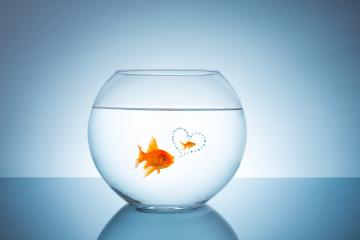 goldfish thinks about love : Stock Photo or Stock Video Download rcfotostock photos, images and assets rcfotostock | RC-Photo-Stock.: