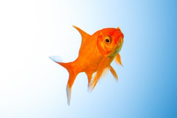 Goldfish undersea : Stock Photo or Stock Video Download rcfotostock photos, images and assets rcfotostock | RC-Photo-Stock.: