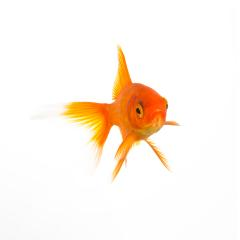 Goldfish underwater- Stock Photo or Stock Video of rcfotostock | RC-Photo-Stock