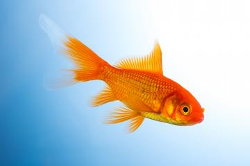 Goldfish underwater- Stock Photo or Stock Video of rcfotostock | RC-Photo-Stock