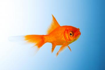 Goldfish unterwater : Stock Photo or Stock Video Download rcfotostock photos, images and assets rcfotostock | RC-Photo-Stock.: