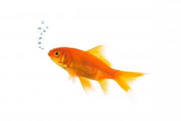Goldfish with air bubbels- Stock Photo or Stock Video of rcfotostock | RC-Photo-Stock