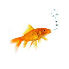Goldfish with air bubbels : Stock Photo or Stock Video Download rcfotostock photos, images and assets rcfotostock | RC-Photo-Stock.: