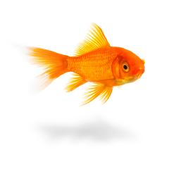 goldfish with shadow- Stock Photo or Stock Video of rcfotostock | RC-Photo-Stock