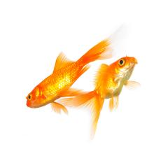 goldfishes : Stock Photo or Stock Video Download rcfotostock photos, images and assets rcfotostock | RC-Photo-Stock.: