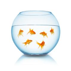 Goldfishes in a fishbowl- Stock Photo or Stock Video of rcfotostock | RC-Photo-Stock