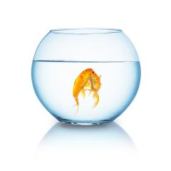 goldfishes in love in a fishbowl : Stock Photo or Stock Video Download rcfotostock photos, images and assets rcfotostock | RC-Photo-Stock.:
