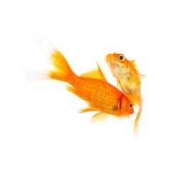 goldfishes in love on white- Stock Photo or Stock Video of rcfotostock | RC-Photo-Stock