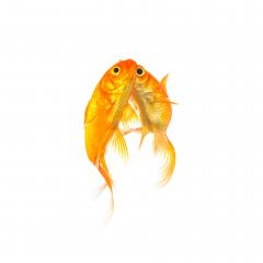 goldfishes in love with a kiss- Stock Photo or Stock Video of rcfotostock | RC-Photo-Stock