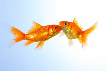 goldfishes on blue  : Stock Photo or Stock Video Download rcfotostock photos, images and assets rcfotostock | RC-Photo-Stock.: