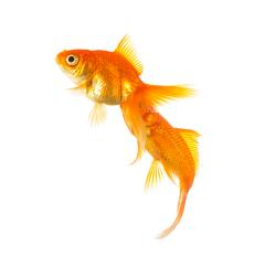 Goldfishes on isolated on white- Stock Photo or Stock Video of rcfotostock   RC-Photo-Stock