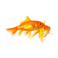 Goldfishes on on white- Stock Photo or Stock Video of rcfotostock | RC-Photo-Stock