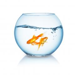 goldfishes swims in a fishbowl : Stock Photo or Stock Video Download rcfotostock photos, images and assets rcfotostock | RC-Photo-Stock.: